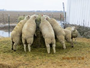 Market lambs feeding on alfalfa-orchardgrass hay March 10, 2013.