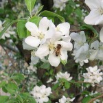 bee working on apple blossoms