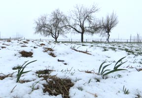 Garlic in the snow on May 2, 2013