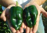 poblano chilis