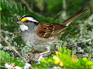 This striking white throated sparrow is migrating through our area now.