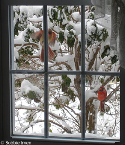 a male and female cardinal beating a window reflection of themselves