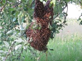 About 20 feet from their hive, these honeybees decided to follow their queen. The next day they had moved over to a different branch in the same apple tree.