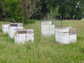 honeybees_06072014