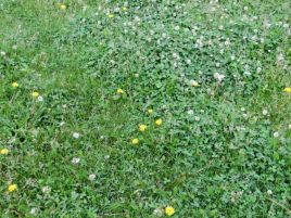 whitedutchclover_06072014