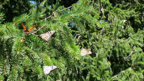 Monarchs gathering on my Norway Spruce in the afternoon sun on September 14, 2014.