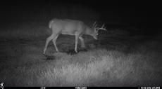 4 point buck out for a stroll.