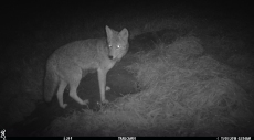 Coyote exploring the badger hole.