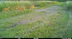 White-tail doe and twins. Saw them all summer.