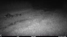 Raccoon family heading east.